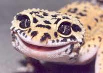 leopard gecko | The Pink Underbelly