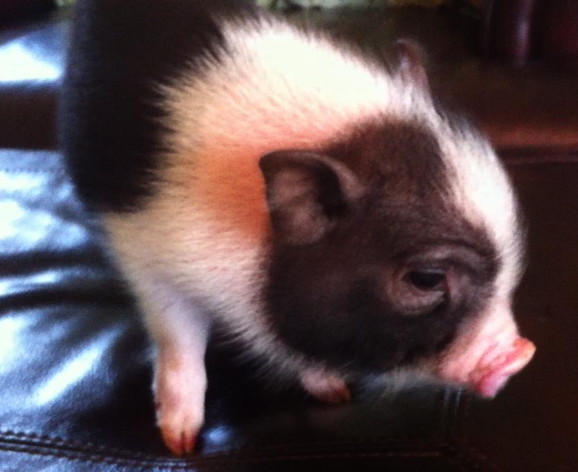 Piggie FAQs (1/6)