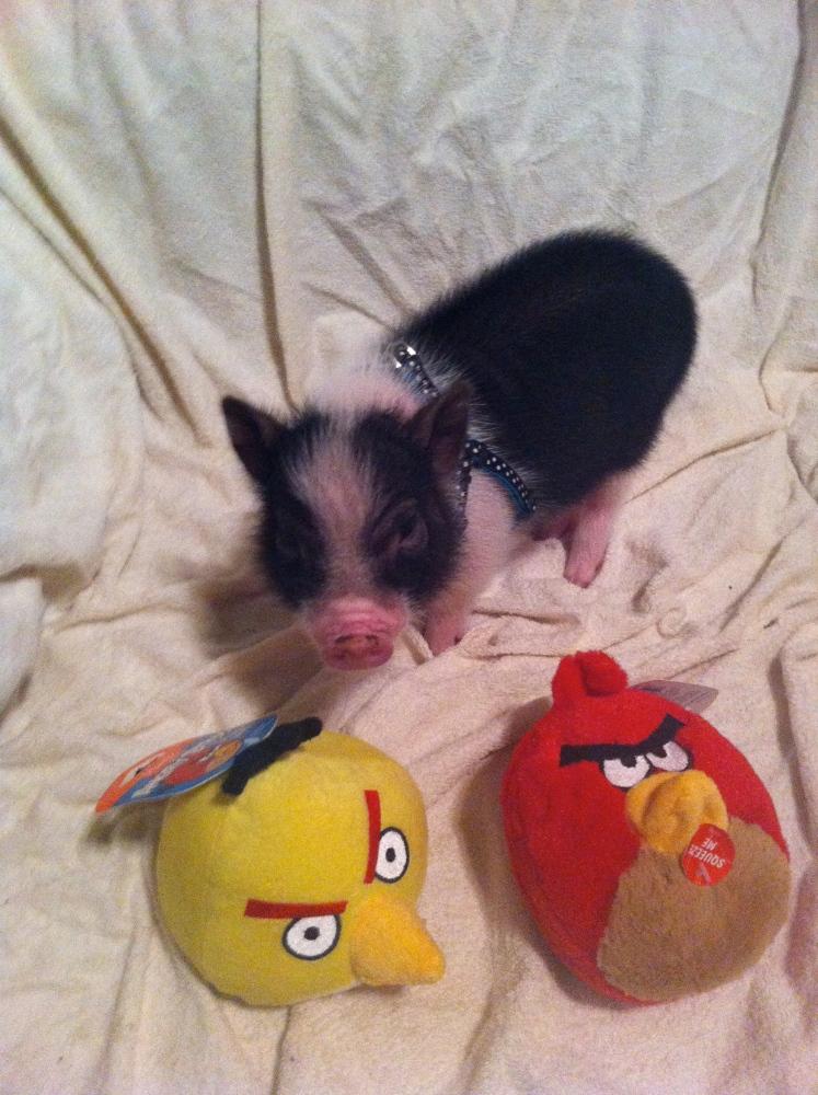 Piggie FAQs (5/6)