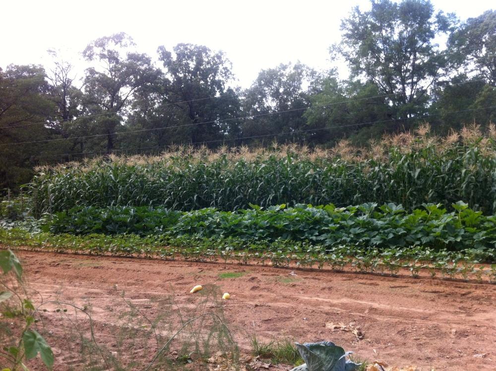 Puttin' up corn  (2/6)
